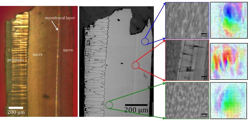 Using Light's Polarization to Investigate Nacre