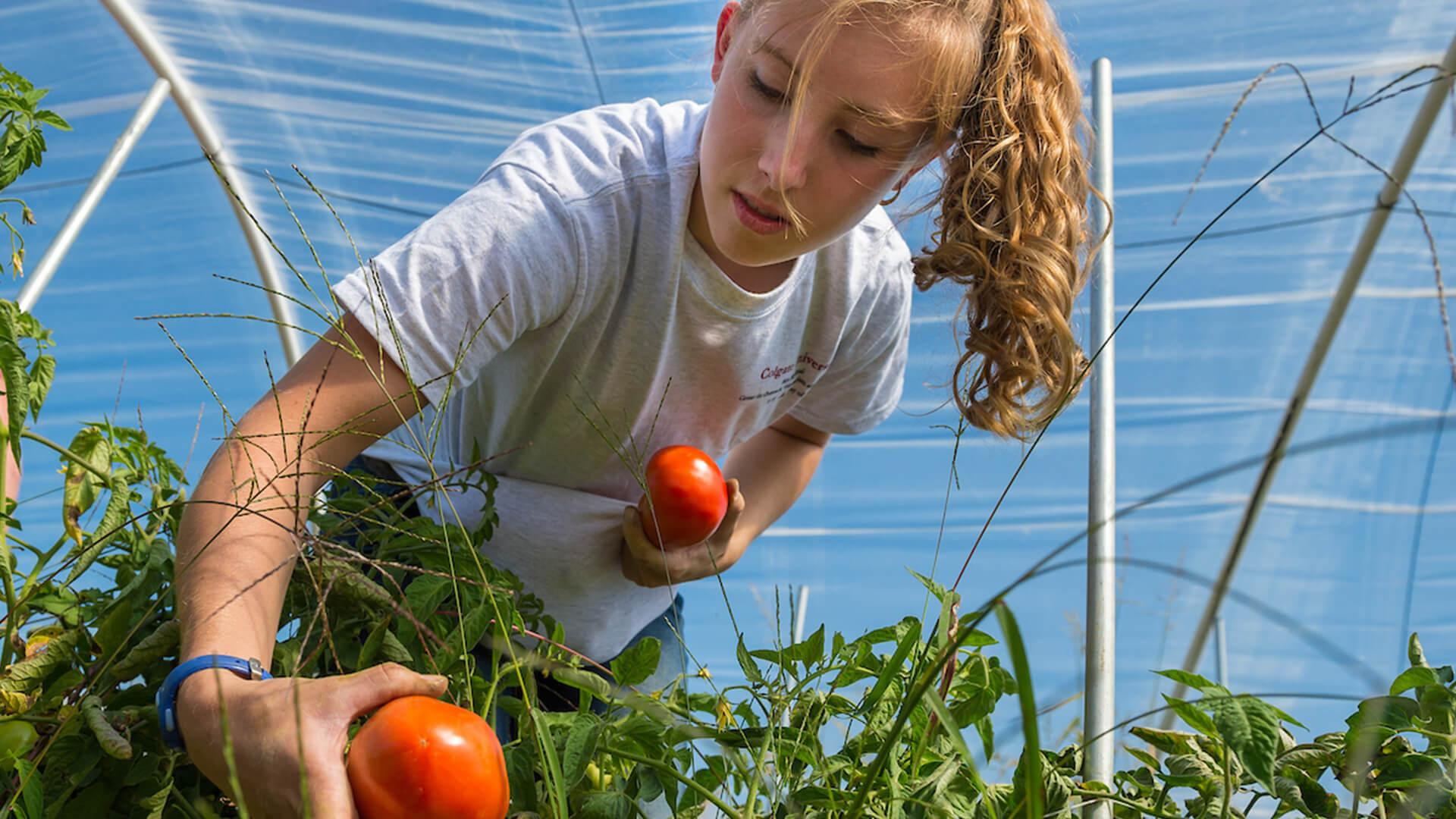 A student assists with picking tomatoes at Common Thread as part of the COVE's Afternoon of Community Service.