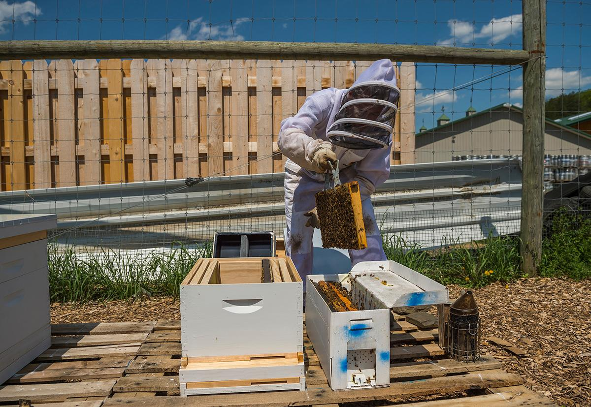 Beekeeper works with hives in the Colgate apiary