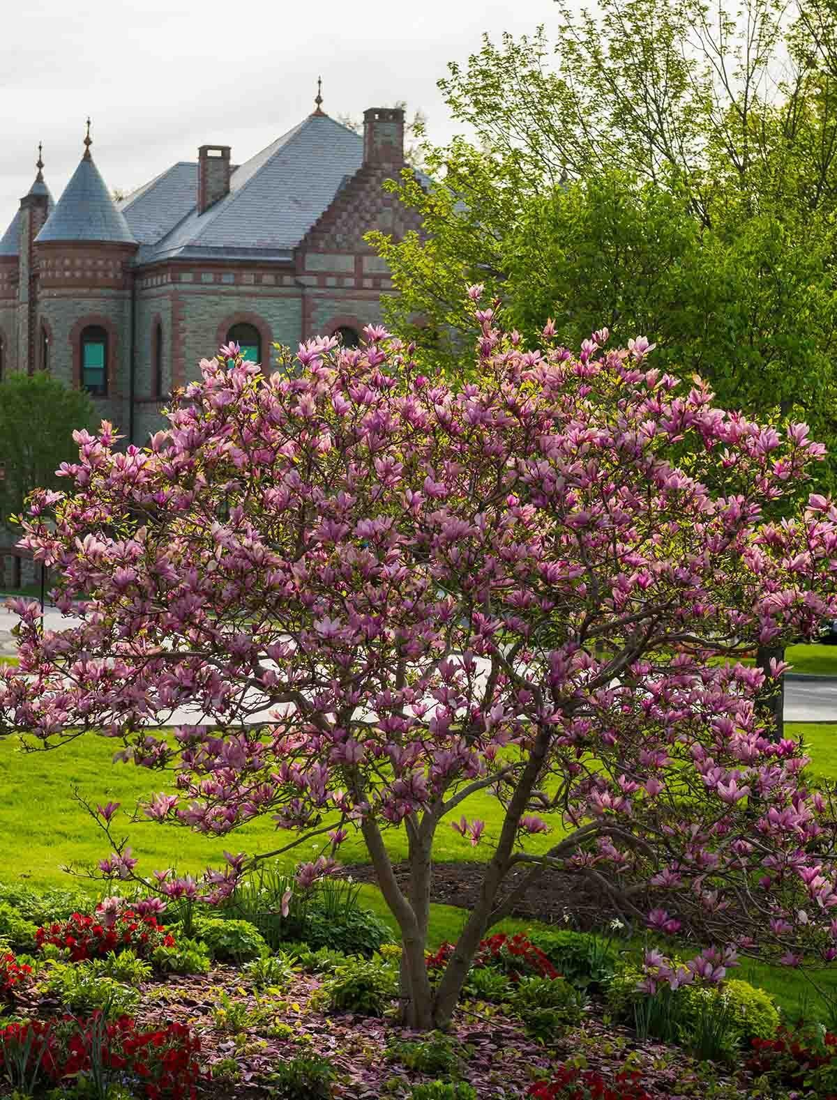 Colgate campus with blossoming trees